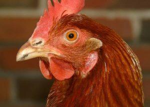 cuando se pone una gallina clueca