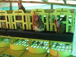 obtención de huevos con nidal para gallina ponedora
