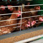 ¿Qué tan rentable es el negocio avícola con granja de gallinas?